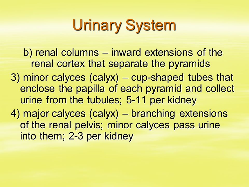 Urinary System b) renal columns – inward extensions of the renal cortex that separate the pyramids.
