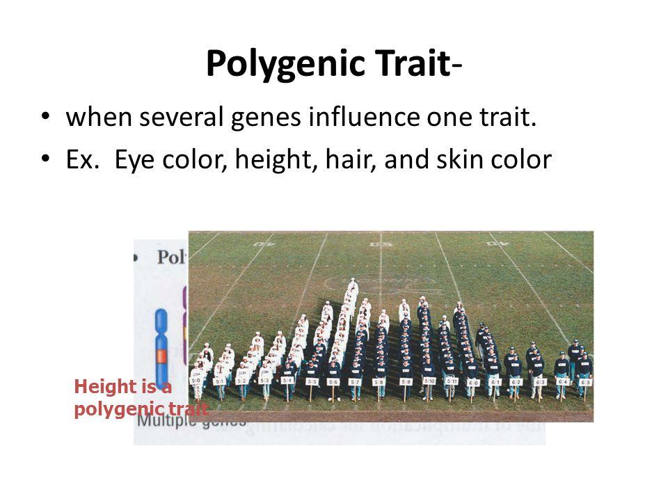 Polygenic Trait- when several genes influence one trait.
