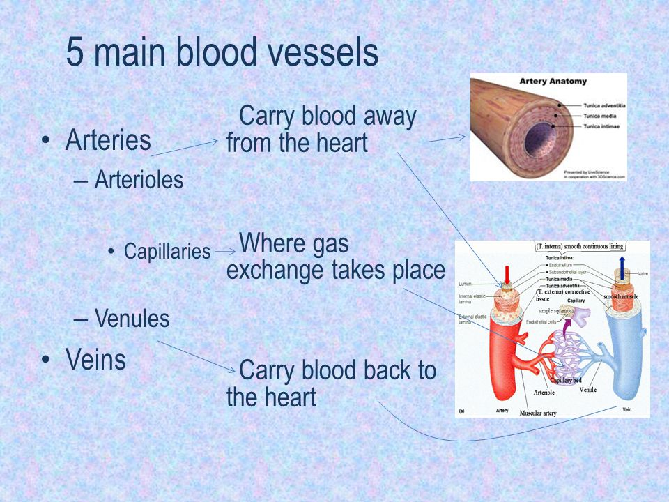5 main blood vessels Arteries Veins Carry blood away from the heart