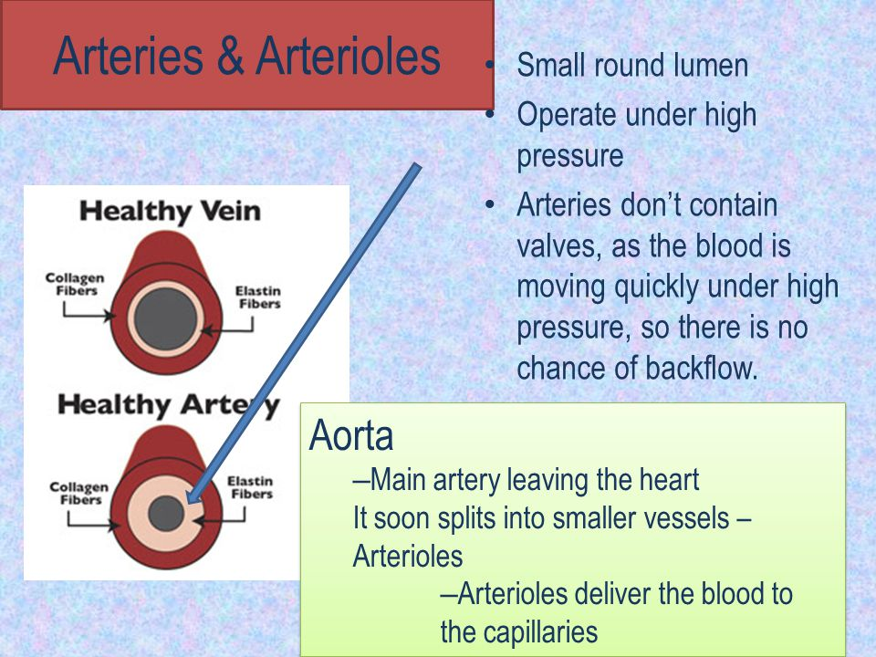 Arteries & Arterioles Aorta Small round lumen
