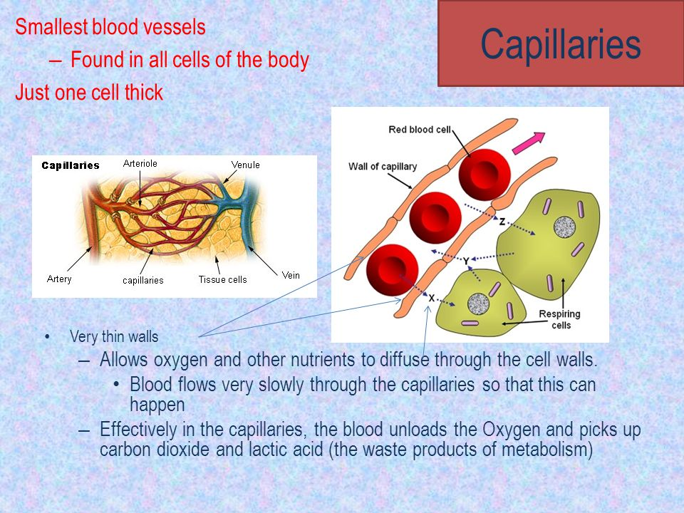 Capillaries Smallest blood vessels Found in all cells of the body