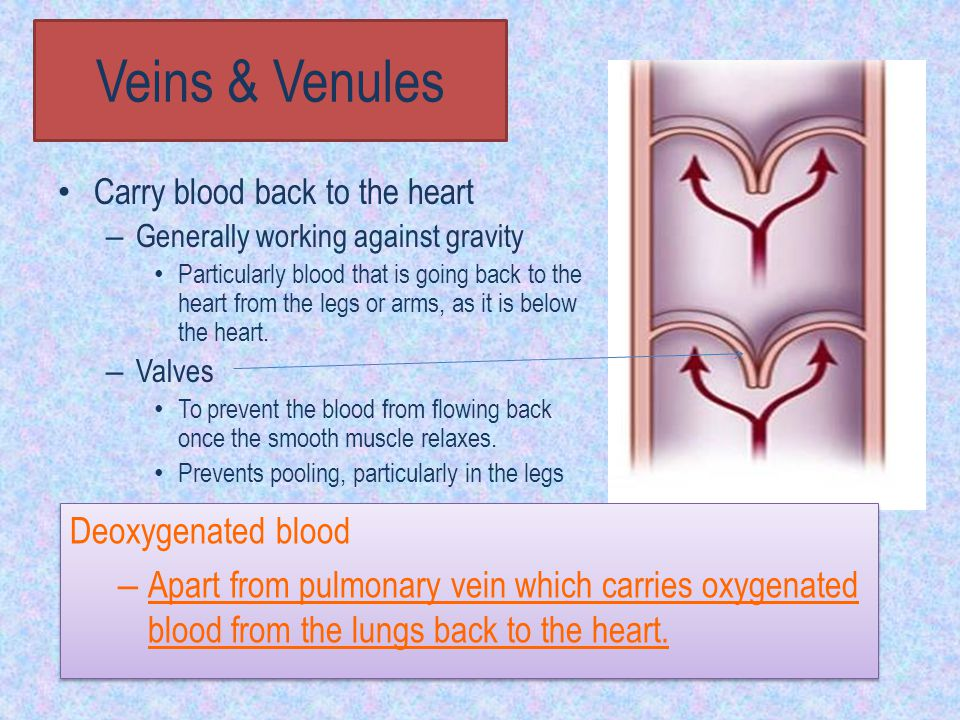 Veins & Venules Deoxygenated blood