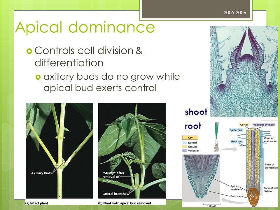 Apical dominance Controls cell division & differentiation