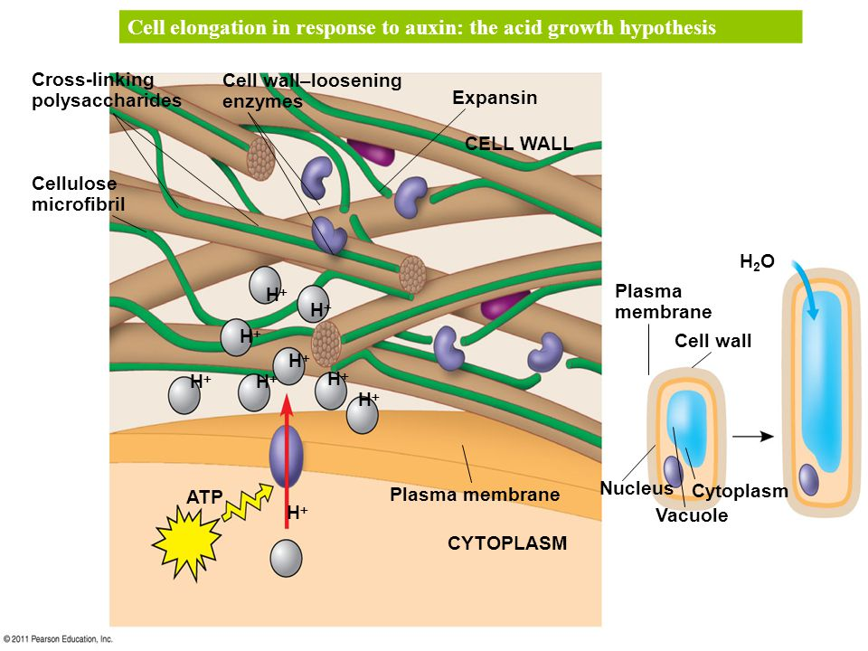 Cell elongation in response to auxin: the acid growth hypothesis