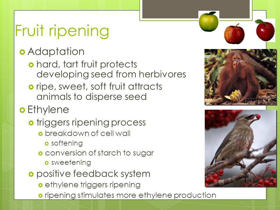 Fruit ripening Adaptation Ethylene