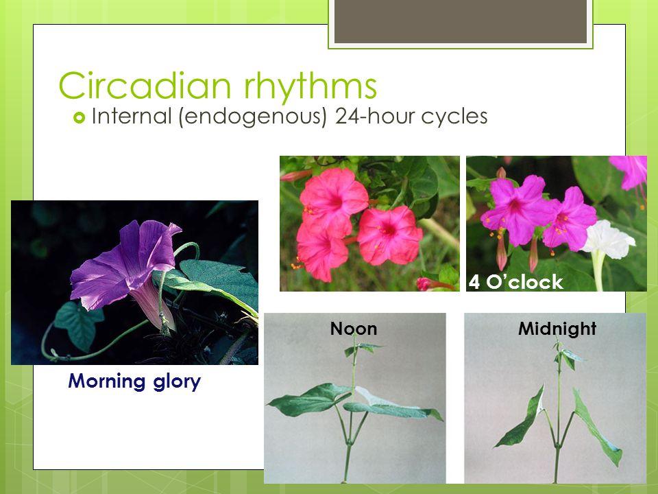 Circadian rhythms Internal (endogenous) 24-hour cycles 4 O'clock