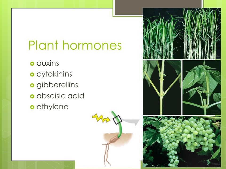 Plant hormones auxins cytokinins gibberellins abscisic acid ethylene