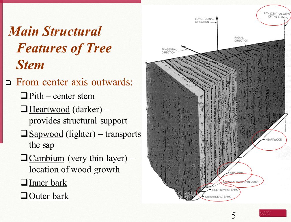 Main Structural Features of Tree Stem