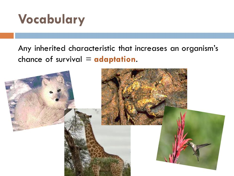 Vocabulary Any inherited characteristic that increases an organism's chance of survival = adaptation.