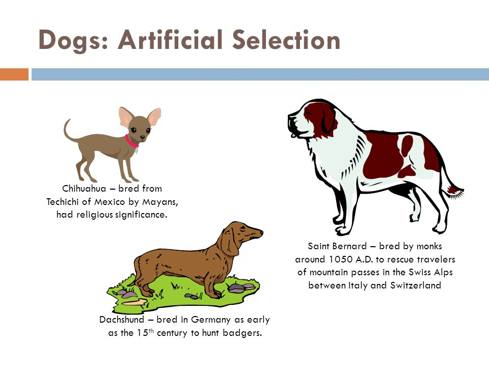 Dogs: Artificial Selection
