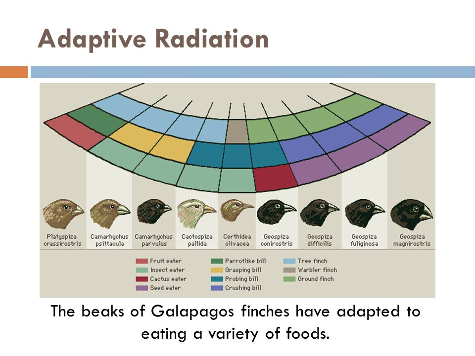 Adaptive Radiation The beaks of Galapagos finches have adapted to eating a variety of foods.