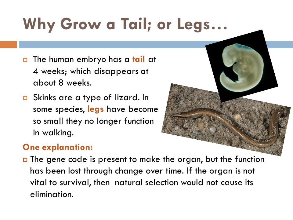 Why Grow a Tail; or Legs…