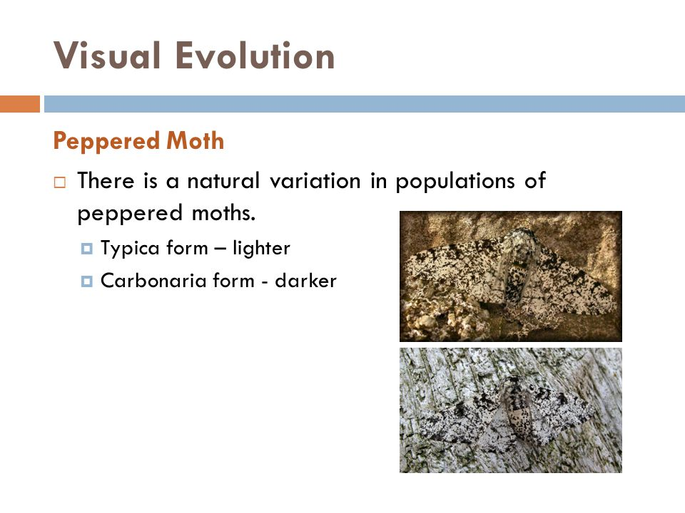 Visual Evolution Peppered Moth