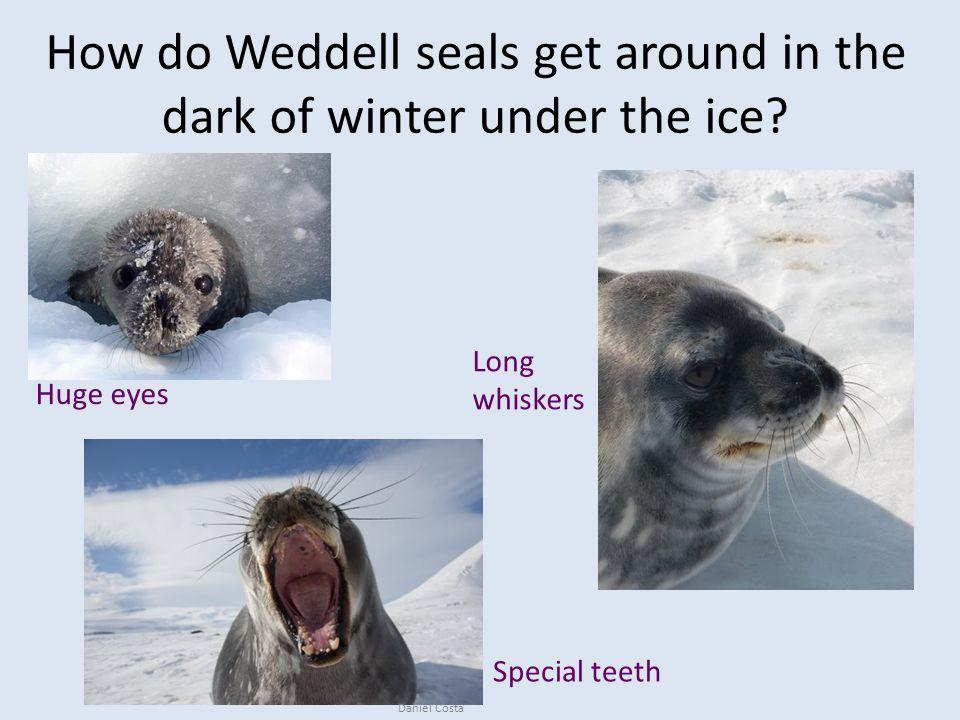 How do Weddell seals get around in the dark of winter under the ice