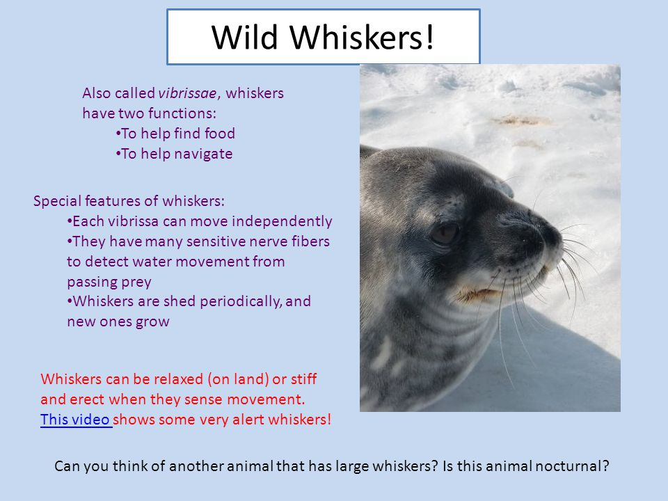 Wild Whiskers! Also called vibrissae, whiskers have two functions: