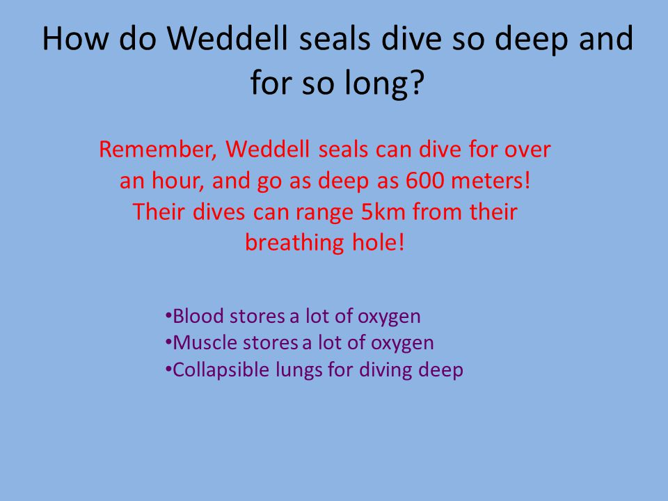 How do Weddell seals dive so deep and for so long