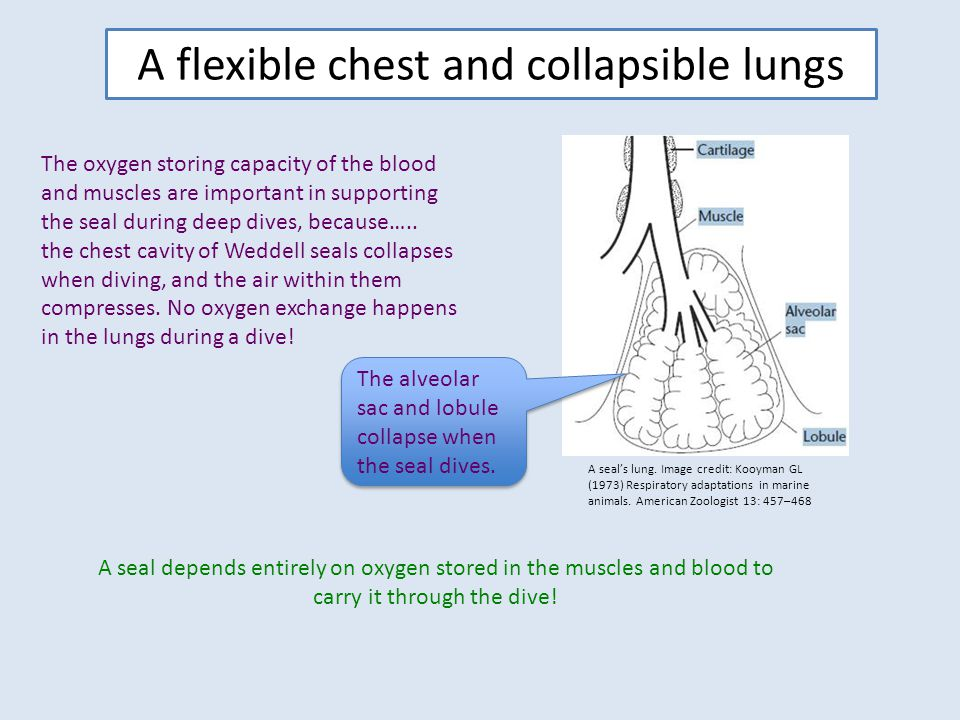A flexible chest and collapsible lungs