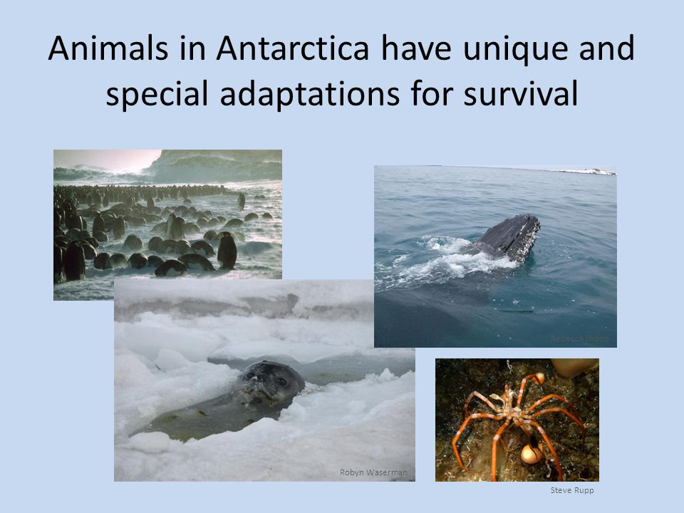 Animals in Antarctica have unique and special adaptations for survival