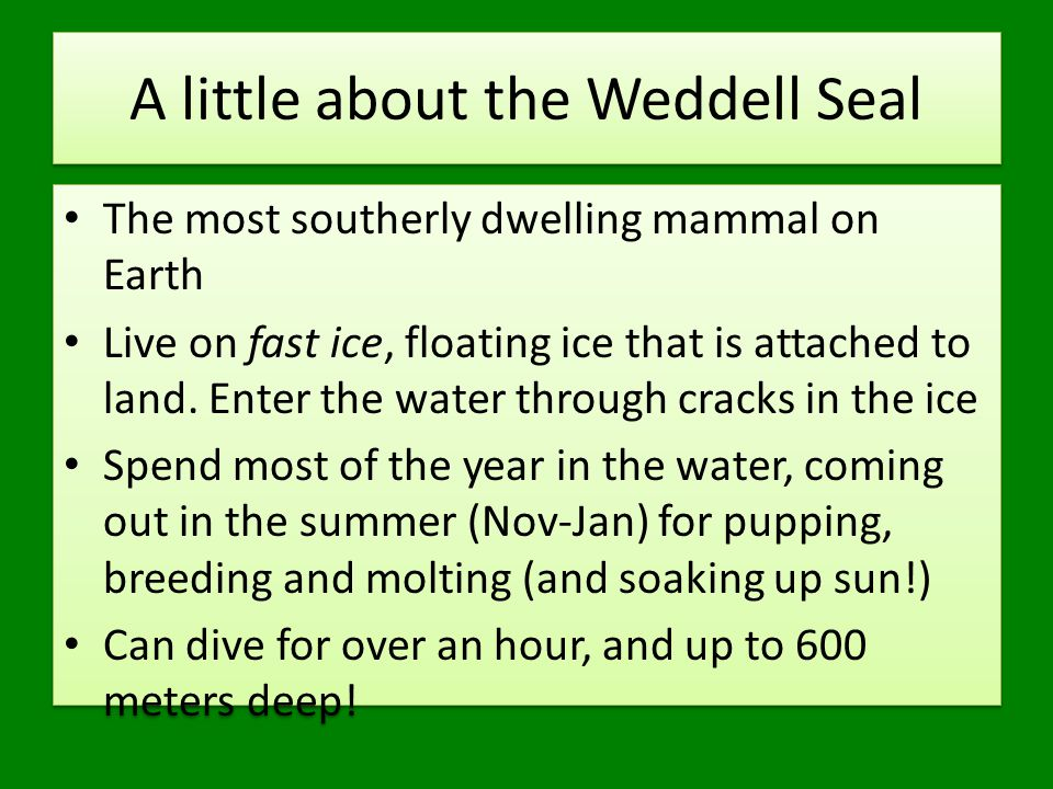 A little about the Weddell Seal