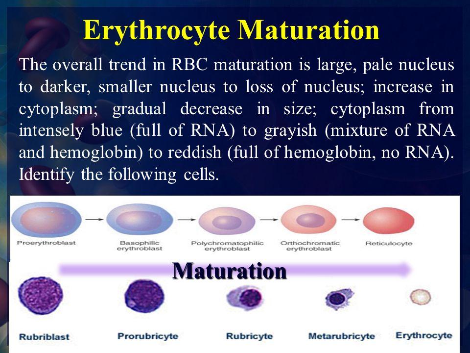 Erythrocyte Maturation