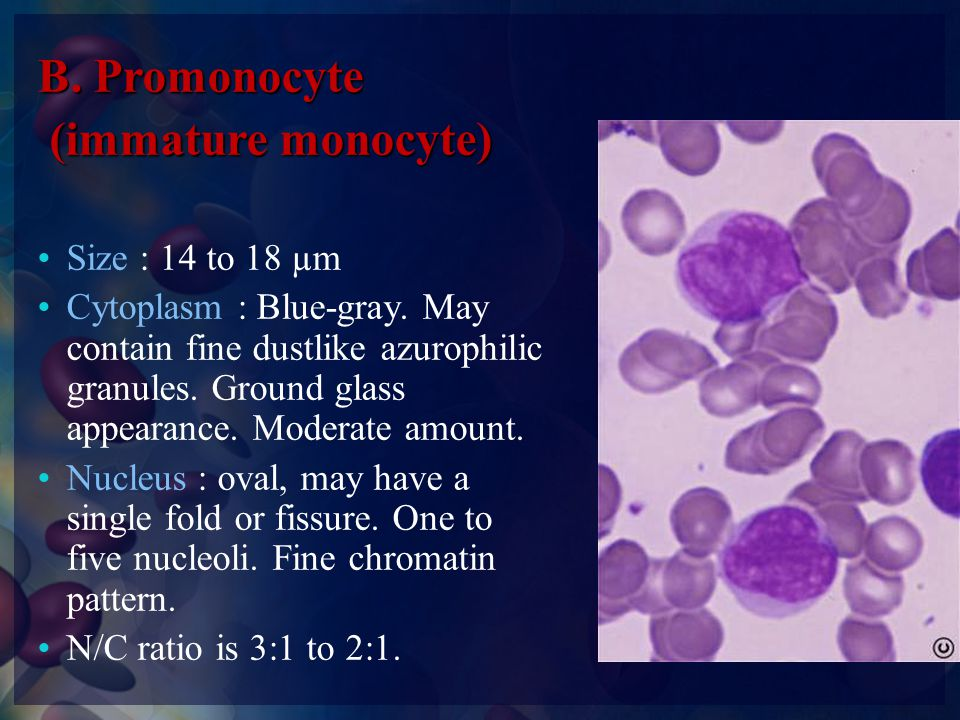 B. Promonocyte (immature monocyte) Size : 14 to 18 µm