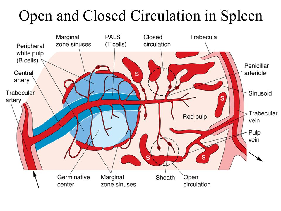 Open and Closed Circulation in Spleen