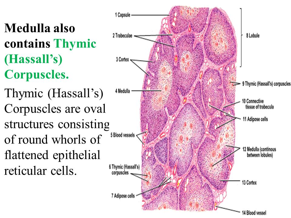Thymus Medulla also contains Thymic (Hassall's) Corpuscles.