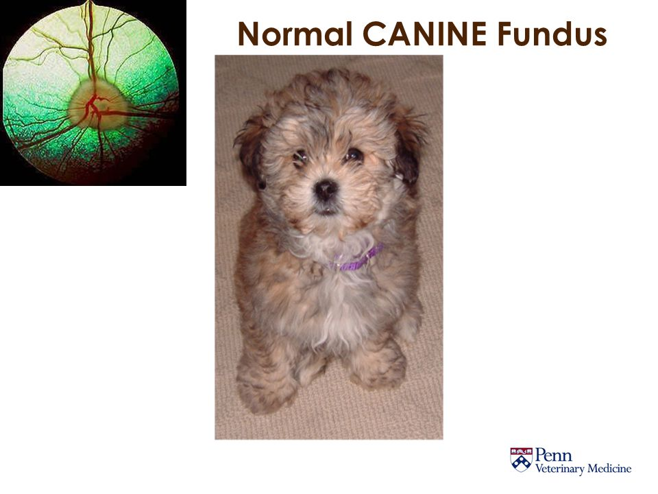 Normal CANINE Fundus