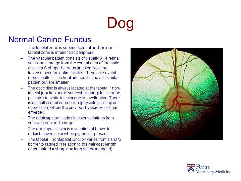 Dog Normal Canine Fundus