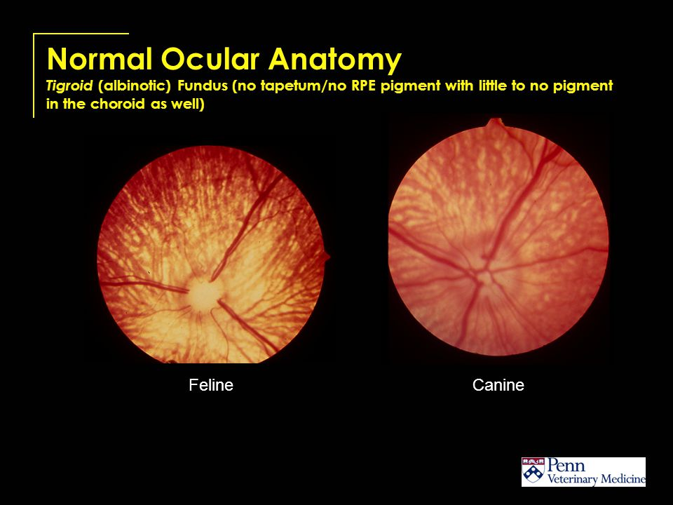 Normal Ocular Anatomy Tigroid (albinotic) Fundus (no tapetum/no RPE pigment with little to no pigment in the choroid as well)