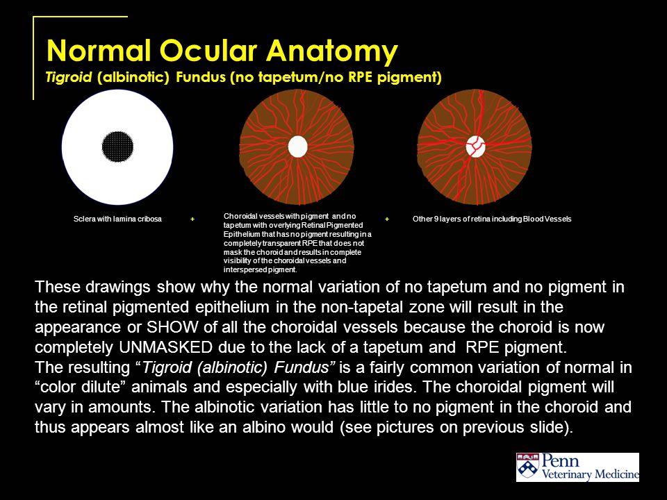 Normal Ocular Anatomy Tigroid (albinotic) Fundus (no tapetum/no RPE pigment)