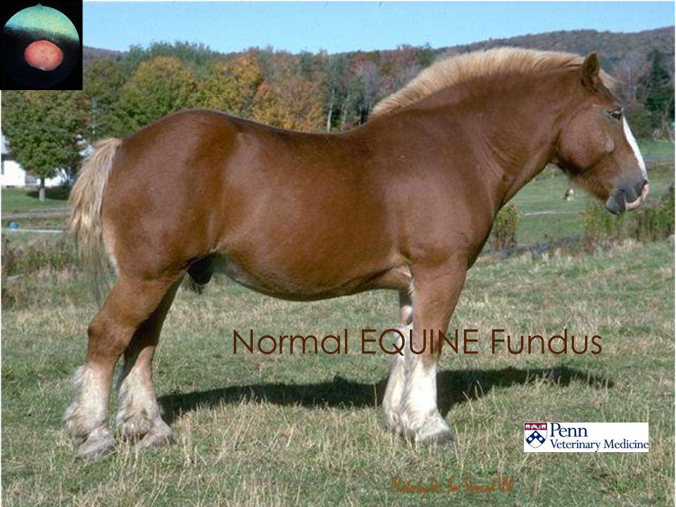 Normal EQUINE Fundus