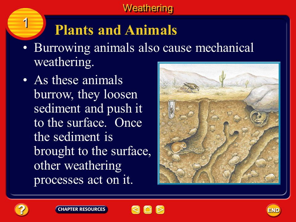 Weathering 1. Plants and Animals. Burrowing animals also cause mechanical weathering.
