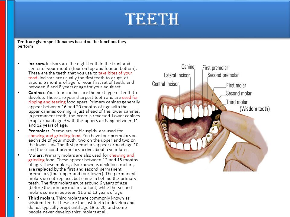 TEETH Teeth are given specific names based on the functions they perform.