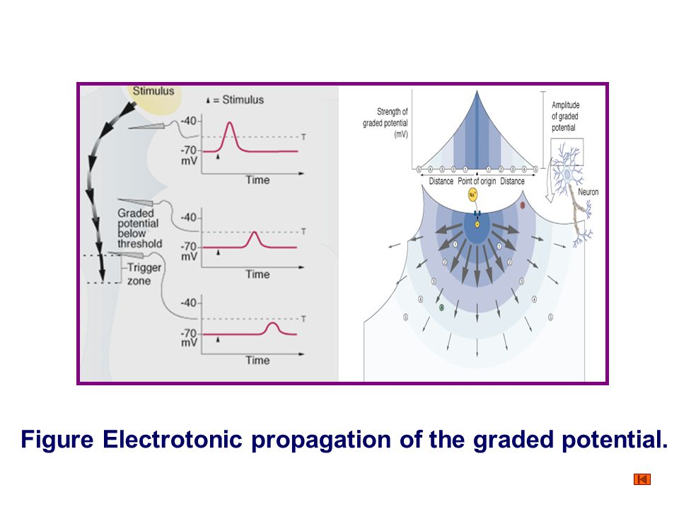 Figure Electrotonic propagation of the graded potential.