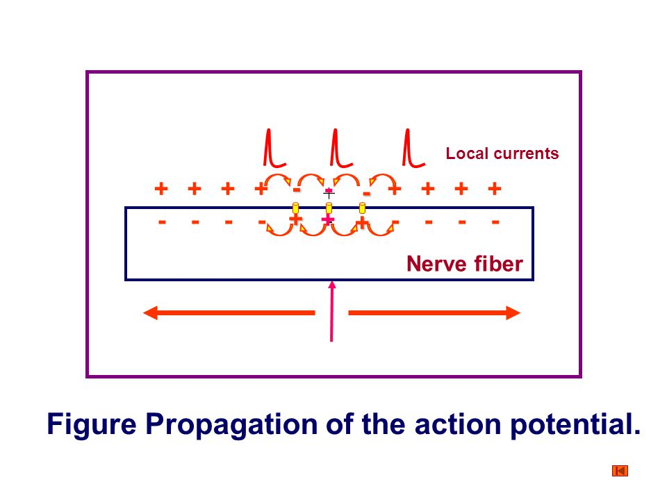 Figure Propagation of the action potential.