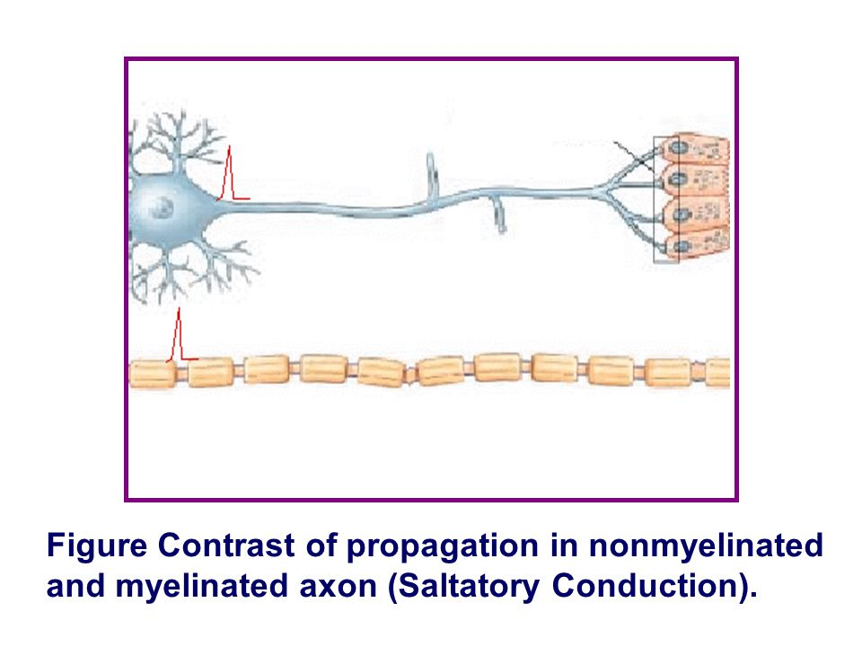 Figure Contrast of propagation in nonmyelinated and myelinated axon (Saltatory Conduction).
