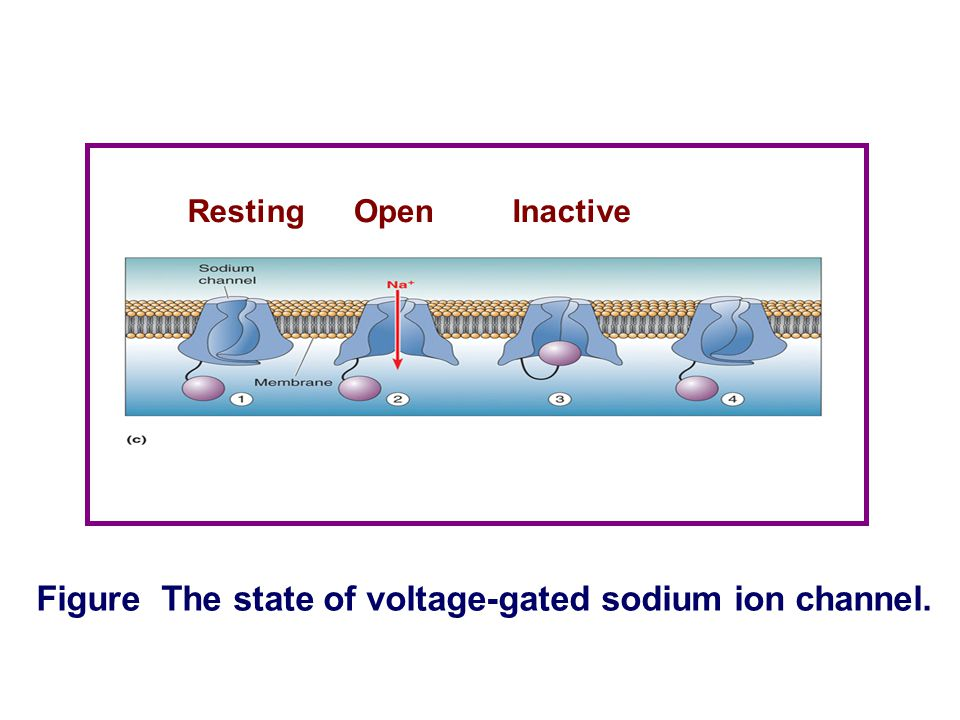 Figure The state of voltage-gated sodium ion channel.