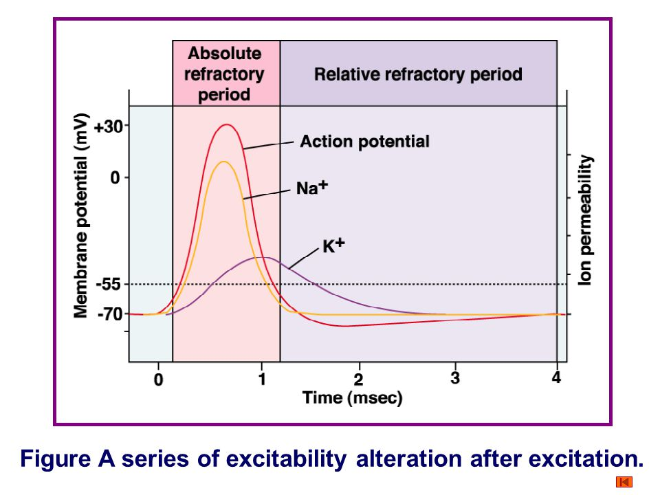 Figure A series of excitability alteration after excitation.