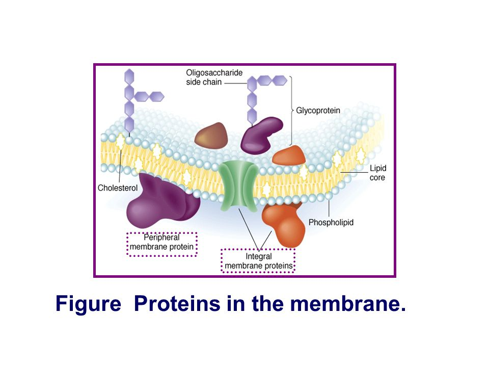 Figure Proteins in the membrane.