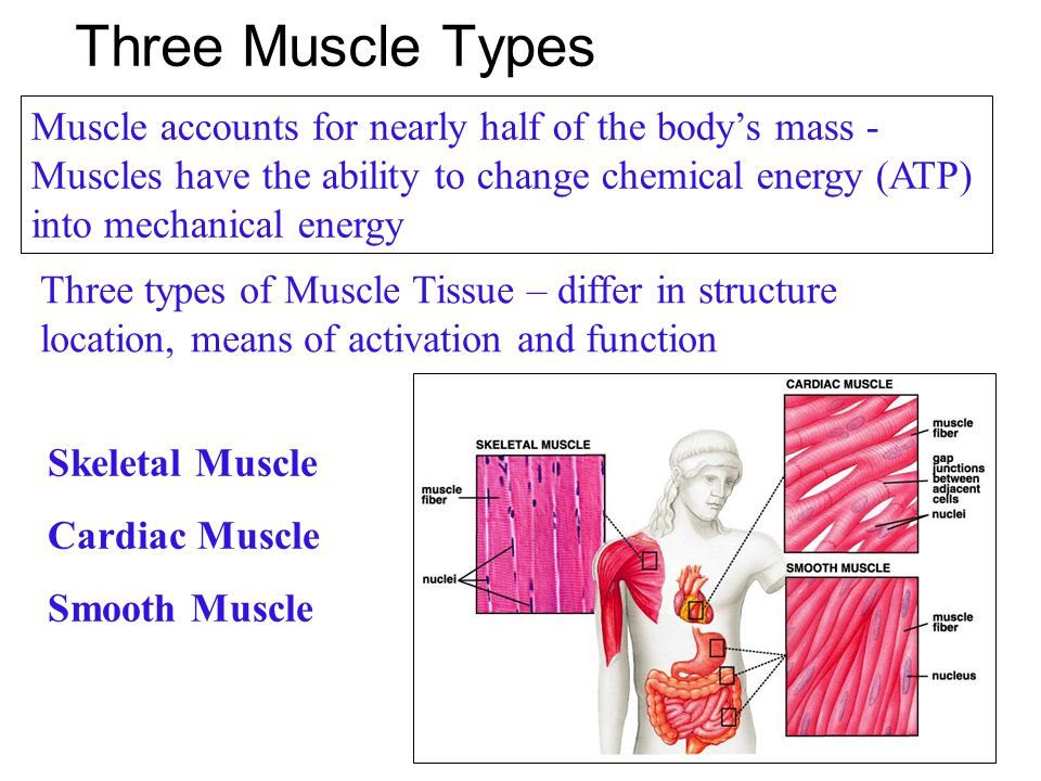 Three Muscle Types