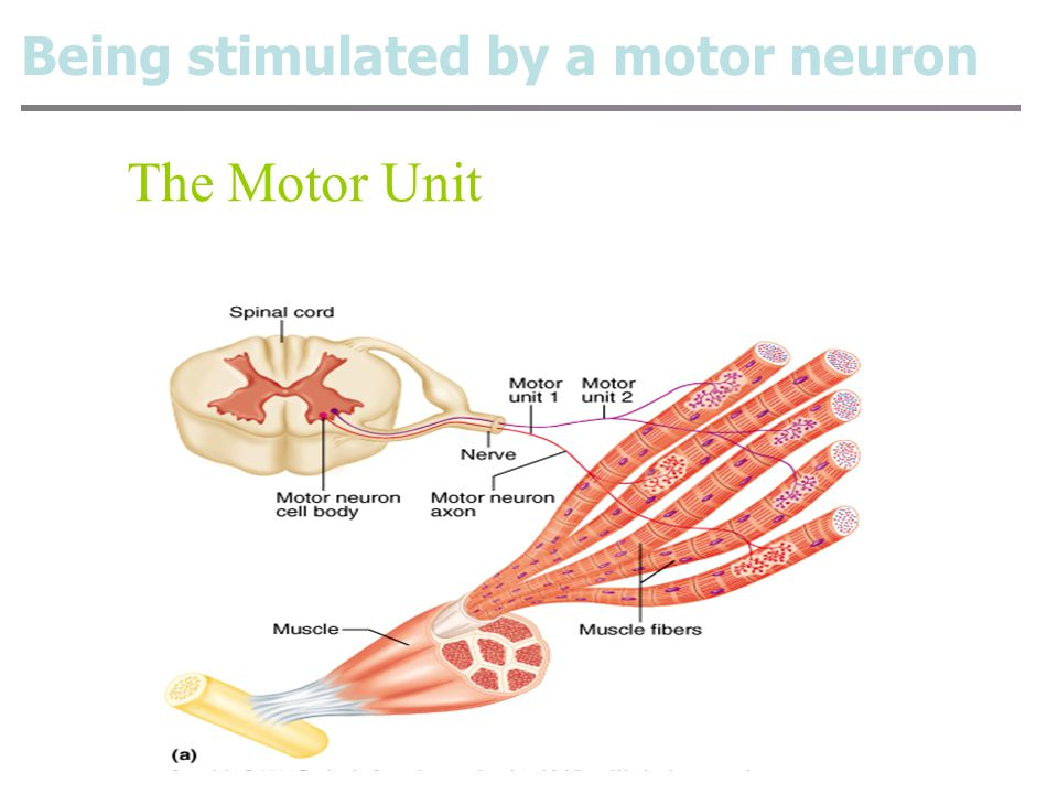 Being stimulated by a motor neuron