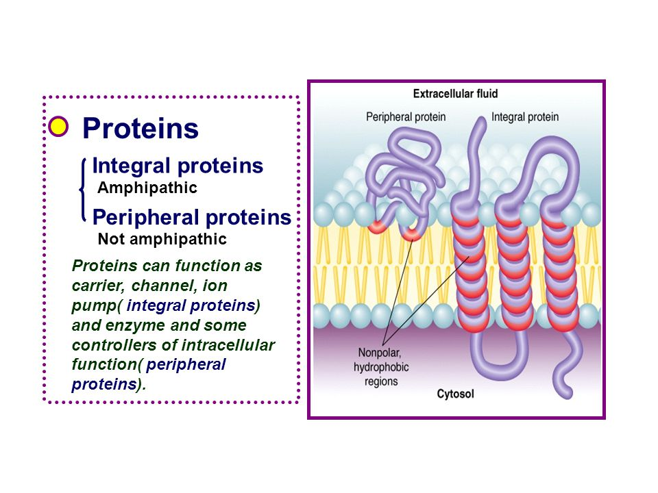 Proteins Integral proteins Peripheral proteins Amphipathic