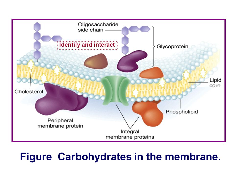 Figure Carbohydrates in the membrane.