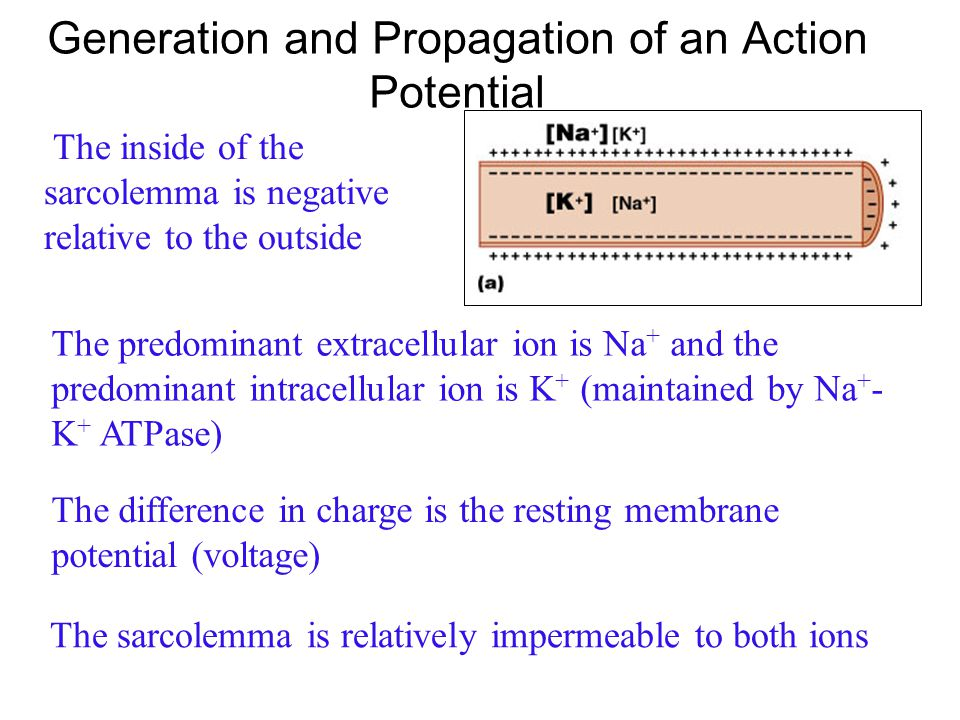Generation and Propagation of an Action Potential
