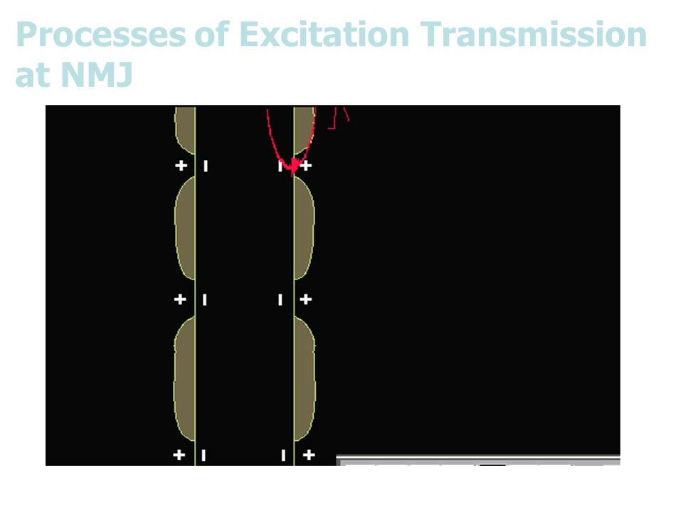 Processes of Excitation Transmission at NMJ