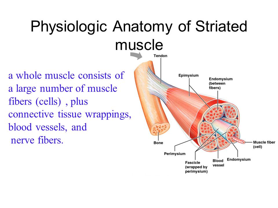Physiologic Anatomy of Striated muscle