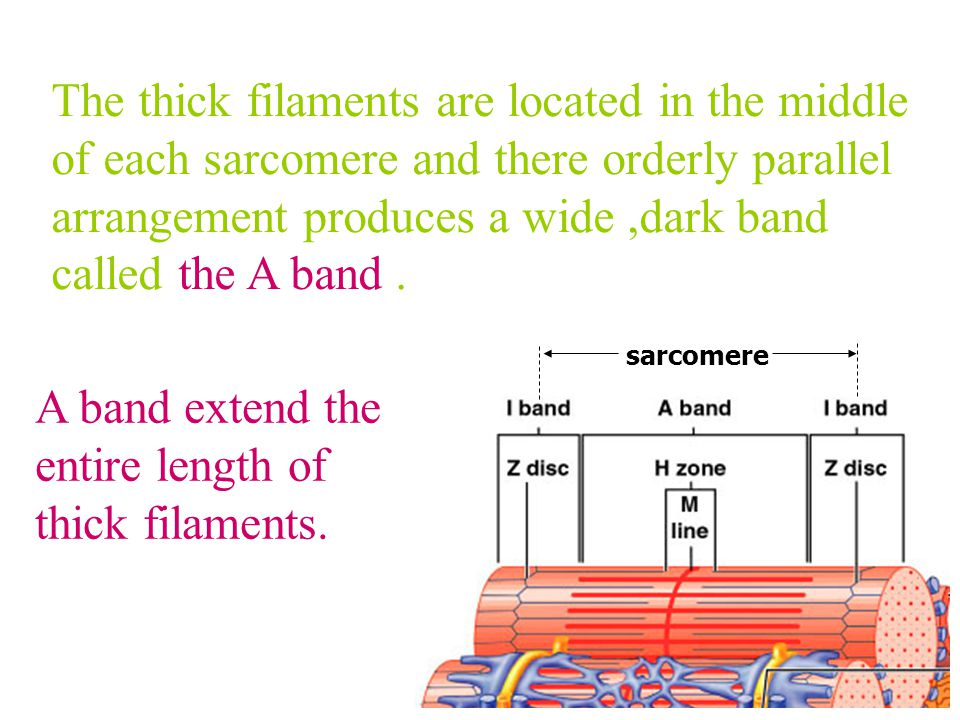 A band extend the entire length of thick filaments.