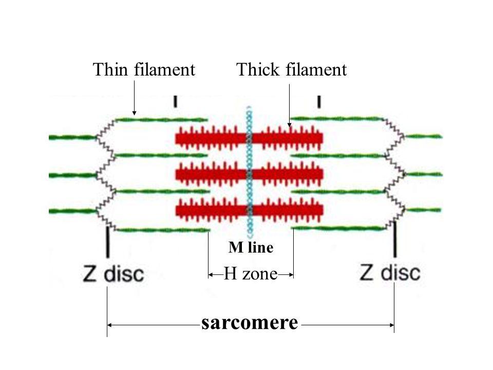 Thin filament Thick filament H zone M line sarcomere