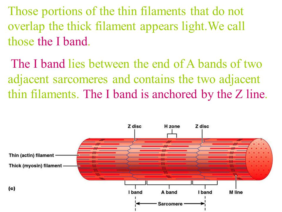 Those portions of the thin filaments that do not overlap the thick filament appears light.We call those the I band.